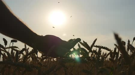otruby : Man hands pouring ripe wheat golden grains at sunset. Wheat grain in a male hand over new harvest at field. Food Production, cereal culture, countryside scenery. Slowmotion, slowmo