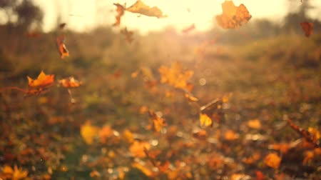 fall through : Autumn leaves falling in slow motion and sun shining through fall leaves. Beautiful landscape background