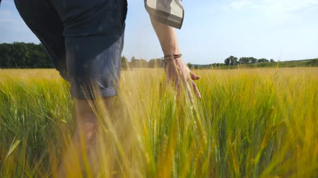 otruby : Male hand moving over wheat growing on the field. Meadow of green grain and mans arm touching seed in summer. Guy walking through cereal field. Close up