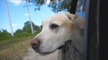 arquejo : Dog breed labrador or golden retriever looking into a car window. Domestic animal stuck out head from moving auto to enjoying the wind and watching the world. Close up