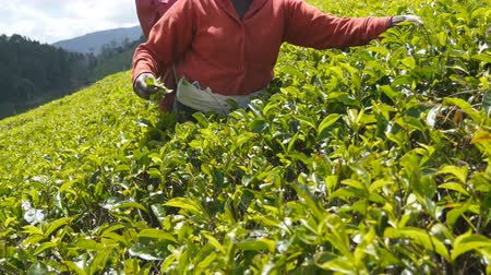 indian tea : Close up of unrecognizable female hands harvest tea at plantation on sunny day in spring season. Local indian woman picking fresh leaves from green bushes at highland. Beautiful nature landscape