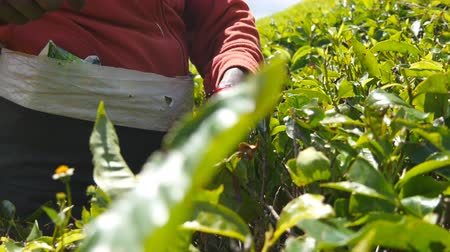 indian tea : Indian hands of woman picking fresh leaves from green bushes at highland. Unrecognizable female worker harvest tea at plantation on sunny day. Low angle view Close up