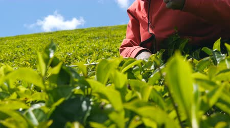 seylan : Close up of unrecognizable indian hands of woman harvest tea at plantation on sunny day in spring season. Local female worker picking fresh leaves from green bushes at highland. Low angle view