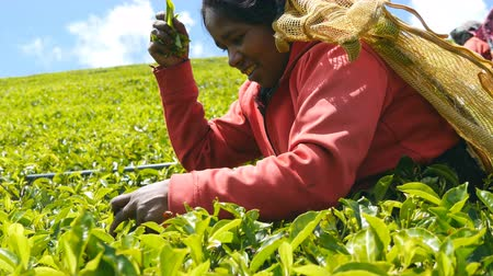 indian tea : Low angle view of indian women smiling and picking fresh leaves from green bushes at highland in spring season. Local female worker harvest tea at plantation on sunny day. Close up Stock Footage