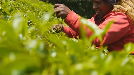indian tea : Low angle view of local indian woman smiling and harvest tea at plantation on sunny day. Female worker picking fresh leaves from green bushes at highland in spring season. Close up