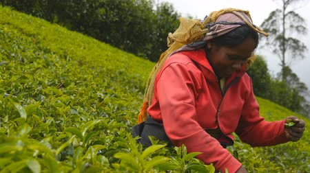 indian tea : Female indian worker talking with tourist and harvest tea at plantation on sunny day in spring season. Local woman smiling and picking fresh leaves from green bushes at highland. Close up