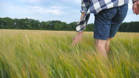 korpa : Male hand moving over wheat growing on the field. Meadow of green grain and mans arm touching seed in summer. Guy walking through cereal field. Slow motion Close up