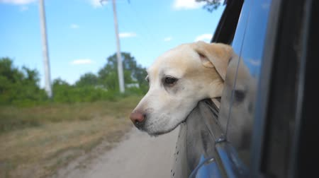 vzrušený : Dog breed labrador or golden retriever looking into a car window. Domestic animal stuck out head from moving auto to enjoying the wind and watching the world. Close up