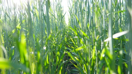 stonky : Close up of cereal stalks on the meadow under blue sky. Green spikelets of wheat swaying in the wind at field. Sunlight shining through plant straws. Beautiful nature landscape. Crane shot Slow motion