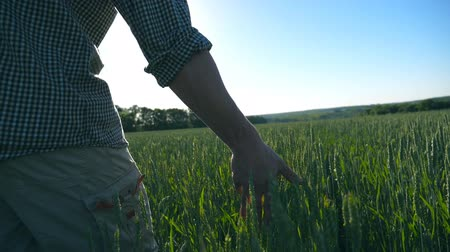 árpa : Close up of unrecognizable young male farmer walking through the cereal field and touching green wheat ears on summer day. Agriculture concept. Blue sky at background. Rear back view Slow motion