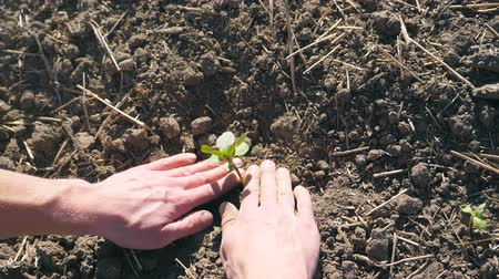 росток : Male hands of farmer planting green sprout of sunflower and gently press a ground around small seedling at sunny day. Young man caring about plant during drought. POV Close up Slow motion
