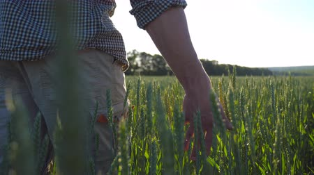 Close up of male hand moving over wheat growing on the meadow on sunny day. Young farmer walking through the cereal field and touching green ears of crop. Beautiful nature landscape. Low angle view
