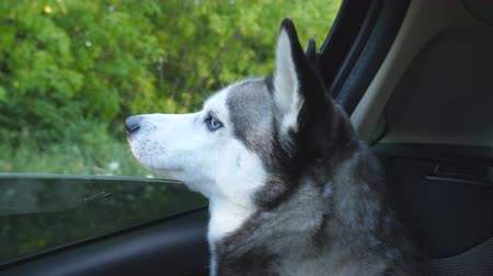 Siberian husky dog sticking her nose out from the window of automobile and looking to beautiful nature at countryside. Young domestic animal sitting in backseat of moving car at sunny day. Close up Stock Footage