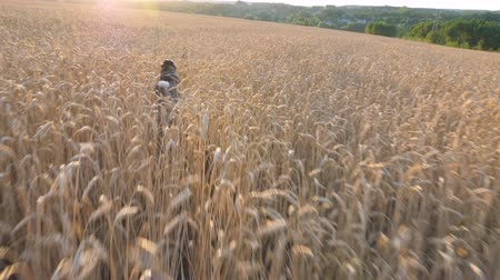 Follow to siberian husky dog running fast through golden spikelets in meadow to her owner at sunset. Young domestic animal jogging on wheat field at summer day. Sunlight at background. POV Rear view Stock mozgókép