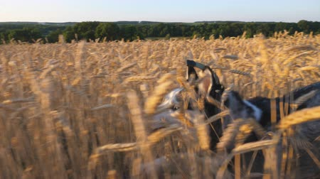 Siberian husky dog running fast through tall spikelets in the meadow to her female owner at sunset. Young domestic animal jogging on golden wheat field at summer day. Close up Side view Slow motion Stock mozgókép