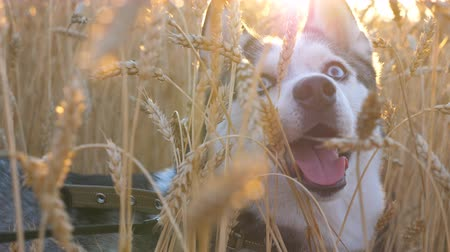 Portrait of young siberian husky muzzle breathing with sticking out tongue at golden wheat field on sunset and looking up. Domestic animal sitting in tall spikelets at meadow on summer. Close up