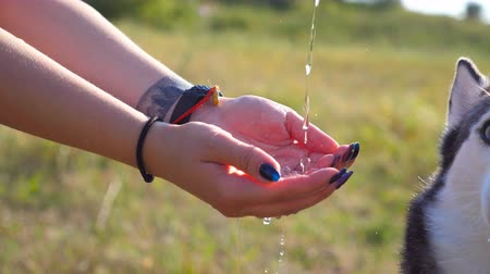 Water is poured into hands of girl and husky dog catches a stream of aqua with tongue at nature. Female owner playing with her pet. Domestic animal quenches thirst at summer day. Close up Side view Stock Footage