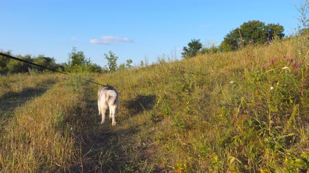 Young siberian husky dog pulling the leash while walking along trail at field on sunset. Beautiful domestic animal going along path at meadow. Summer nature landscape at background. POV Close up Stock mozgókép