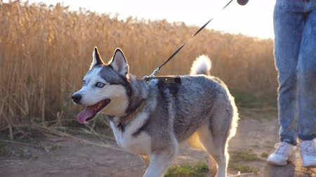 Cute siberian husky walking in front of her female owner along trail near wheat field. Feet of young girl going with her cute dog on leash along road near meadow at sunset. Low angle view Close up