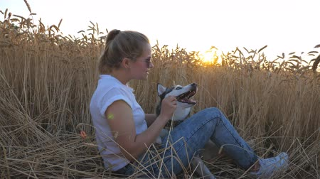 Crane shot of young girl in sunglasses holding in hand golden spikelet and playing with siberian husky at wheat meadow. Happy woman with blonde hair sitting at field of ripe wheat with her pet
