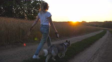 Follow to young girl holding golden wheat stalks in hand and walking with her siberian husky along road near wheat field. Female owner going with cute dog on leash along trail near meadow at sunset