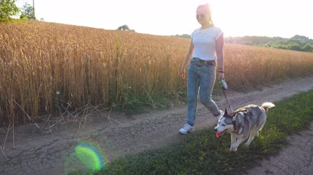 Profile of young girl in sunglasses going with her siberian husky along road near wheat field on sunset. Female owner walks with her beautiful dog on leash along trail near meadow. Close up Side view Стоковые видеозаписи