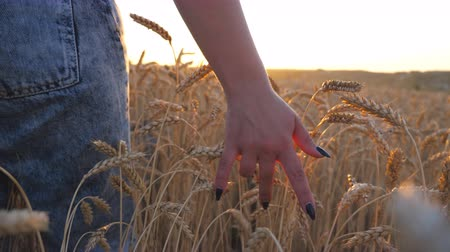 Close up of female hand moving over ripe wheat growing on the meadow with sunlight at background. Young girl walking through the cereal field and touching golden ears of crop at sunset. Rear view Стоковые видеозаписи