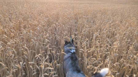 stonky : Rear view of siberian husky dog running fast through golden spikelets at meadow on sunset. Young domestic animal jogging on wheat field at summer day. Cute pet playing at countryside. POV Slow motion Dostupné videozáznamy