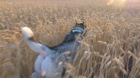 stonky : Dolly shot of siberian husky dog running fast among tall spikelets at meadow on sunset. Young domestic animal jogging on golden wheat field at summer day. Sunlight at background. POV Slow motion Dostupné videozáznamy