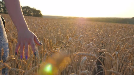 stonky : Rear view of young girl walking with her siberian husky dog through the cereal field and stroking golden rye at sunset. Female hand moving over ripe wheat growing on the meadow. Close up Slow motion