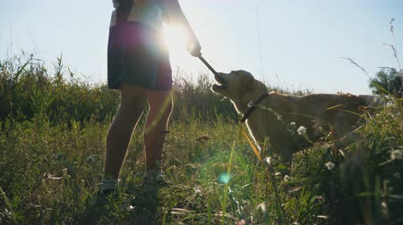command : Young man playing with labrador or golden retriever in meadow. Guy trains dog outdoors. Concept of friendship with domestic animal. Sunshine at background. Slow motion Close up Stock Footage
