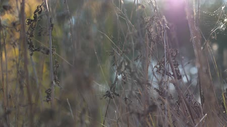 dry stalks : Warm summer sun lights up wild field grass. Close up of meadow plants at sun light. Bright sun illuminates dry vegetation. Blurred background. Slow motion Close up Stock Footage