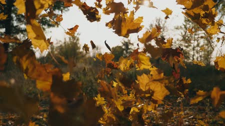 acalmar : Close up of yellow maple leaves falling in autumnal park. Bright sun shining through vivid falling foliage. Beautiful natural landscape at background. Colorful fall season. Slow motion Stock Footage