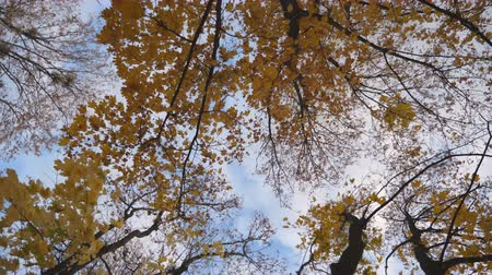 low angle shot : View to tree tops with yellow bright maple leaves with blue sky at background. Lush foliage on tree branches gently swaying in the wind. Beautiful colorful fall season. Rotation shot Slow motion