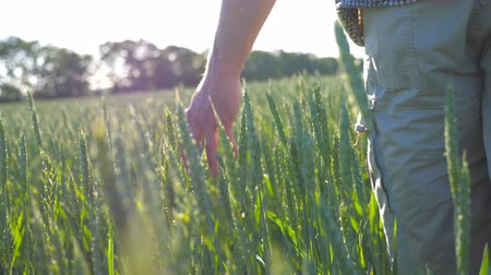 árpa : Male hand moving over wheat growing on the meadow on sunny summer day. Young farmer walking through the cereal field and touching green ears of crop. Agriculture concept. Rear back view Close up Stock mozgókép