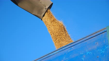 verim : Combine harvester loading wheat grains. Yellow dry kernels falling from harvester auger into truck trailer. Rye pouring at sky background. Concept of harvesting. Slow motion Close up Low view