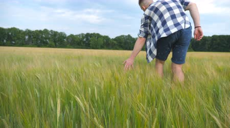milharal : Male hand moving over wheat growing on the field. Meadow of green grain and mans arm touching seed in summer. Guy walking through cereal field. Slow motion Close up