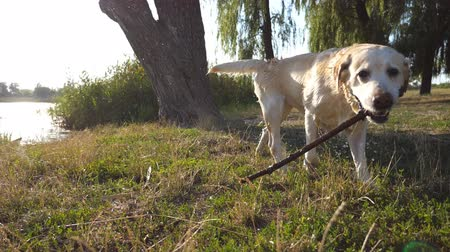 клык : Wet labrador or golden retriever running with wooden stick in teeth. Dog playing at nature.Close up Slow motion