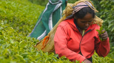 indian tea : Close up of indian woman harvest tea at plantation in spring season. Local female worker picking fresh leaves from green bushes at highland. Beautiful landscape
