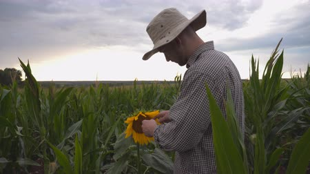 examinar : Young farmer gently touching single sunflower on corn field at organic farm. Male worker standing at maize plantation and examining yellow flower at overcast day. Concept of agricultural business