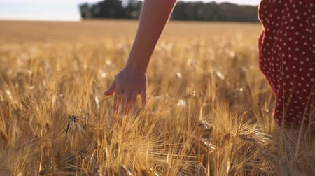 stonky : Close up of female hand moving over ripe wheat growing on the meadow. Young girl walking through the barley field and stroking golden ears of crop. Sunlight at background. Rear view Slow motion