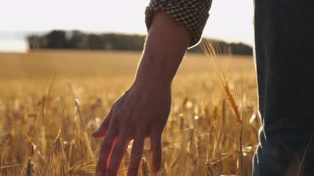 stonky : Close up of male hand moving over wheat growing on the plantation. Young man walking through the barley field and gently stroking golden ears of crop. Sunlight at background. Rear view Slow motion Dostupné videozáznamy