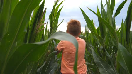 ruivo : Follow to small red-haired boy running through corn field at overcast day. Little kid jogging over the green meadow. Cute child having fun while crossing maize plantation. Rear view Slow motion