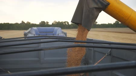 verim : Combine loading wheat grains in truck. Close up pouring of fresh rye into trailer. Yellow dry kernels falling from harvester auger. Working process on farm. Concept of harvesting. Slow motion