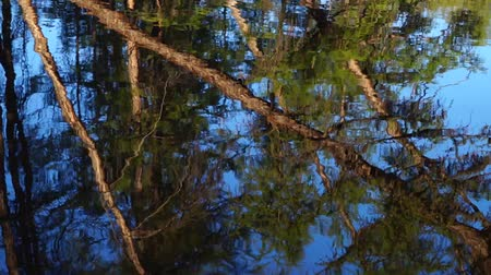 колебание : Reflection of forest on the surface of the river.