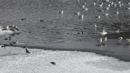 Pack of sea seagulls Larus marinus on lake ice in the early spring