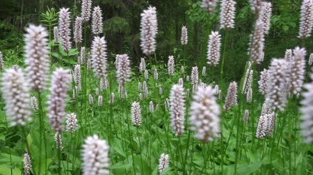 beautiful white pink summer flowers- Pontederia cordata Stock mozgókép