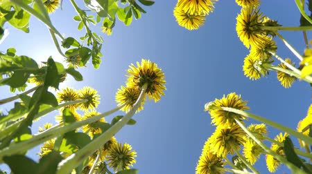 The bottom view on yellow dandelions on against the background of the blue summer solar sky