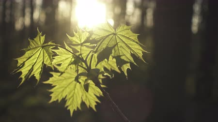The young leaves of a maple lit with the sun during a sunset