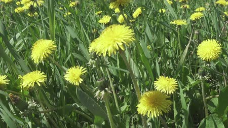 pampeliška : Wind swings yellow dandelions in the field in summer sunny day. The camera moves across the field
